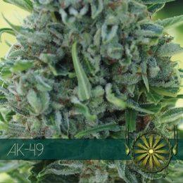 AK 49 vision seeds