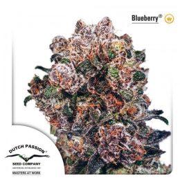 blueberry feminized dutch passion