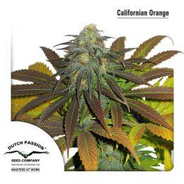 californian orange dutch passion