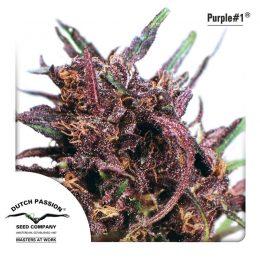 purple 1 dutch passion