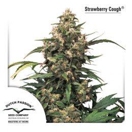 strawberry cough dutch passion