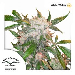 white widow dutch passion