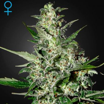 Super Critical Auto green house seeds