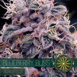 autofem vision seeds blueberry bliss 500x500 1