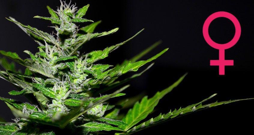 cannabis feminized