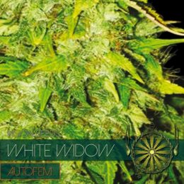 autofem vision seeds white widow 500x500 1