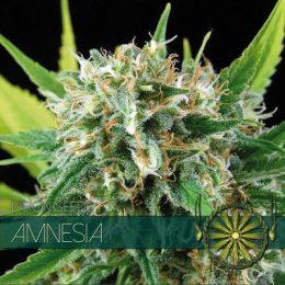 vision seeds amnesia 500x500 1