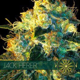 vision seeds jack herer 500x500 1