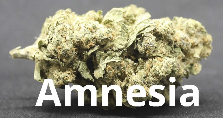 Amnesia hemp 01