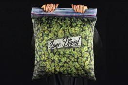 Sour Diesel cannabis