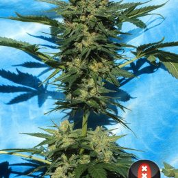 Autoflowering White Russian serious seeds