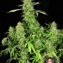 cbd chronic serious seeds